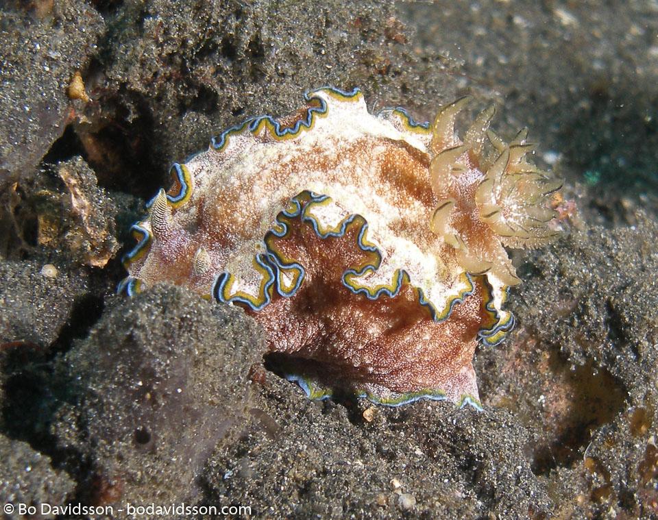 BD-080330-Lembeh-3302309-Goniobranchus-albopunctatus.-Garrett.-1879-[White-spotted-nudibranch].jpg